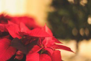Christmas Poinsettias & Floral Arrangements in Middlebury, VT